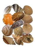 Image Collection: Seashells